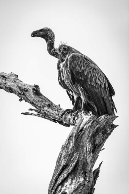Monochrome white-backed vulture ( Gyps africanus ) on dead tree stump, Tarangire National Park; Tanzania — Stock Photo
