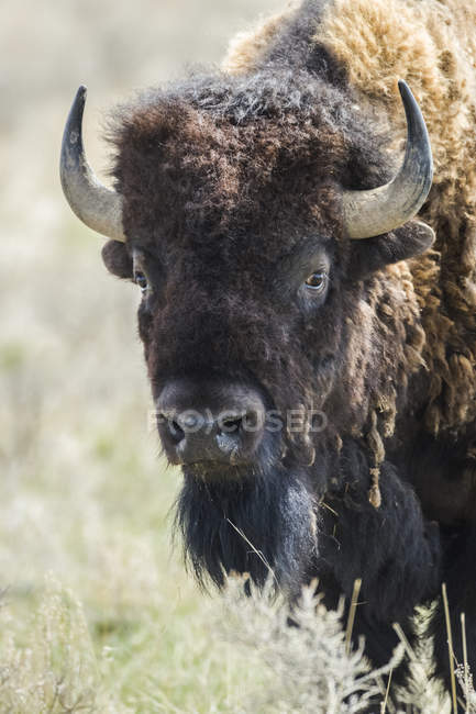 Крупным планом зубров (bison bison), глядя в камеру, лугопастбищные угодья национального парка; Саскачеван, Канада — стоковое фото