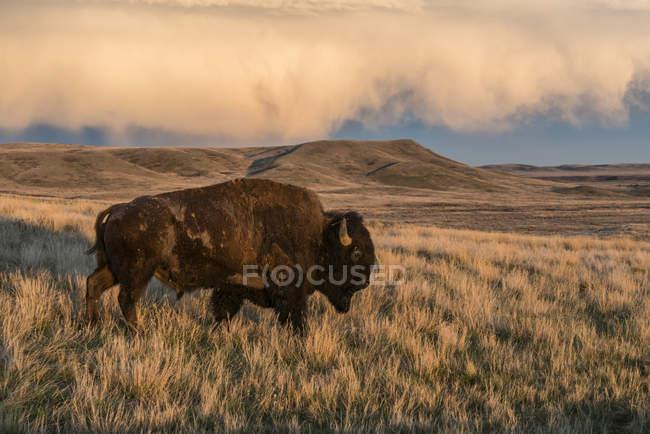 Бизон (bison bison), пасущихся на закате, лугопастбищные угодья национального парка; Саскачеван, Канада — стоковое фото
