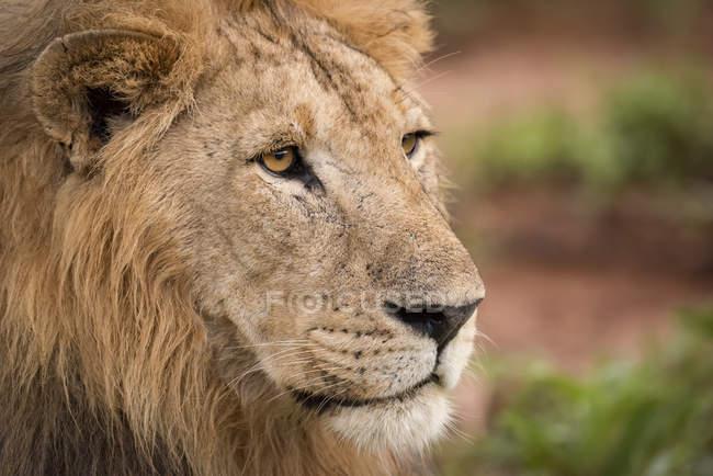 Nahaufnahme der vernarbte Kopf des männlichen Löwen (Panthera Leo), Tarangire-Nationalpark; Tansania — Stockfoto