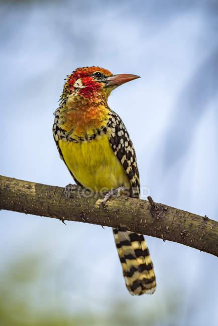 Barbet rouge et jaune (Trachyphonus erythrocephalus) sur branche avec tête tournée ; Tanzanie — Photo de stock