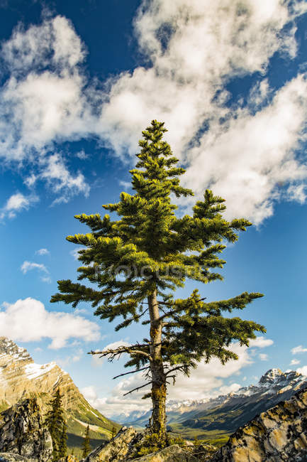A lone coniferous tree grows along a rocky ridge in the Rocky Mountains, Banff National Park; Alberta, Canada — Stock Photo