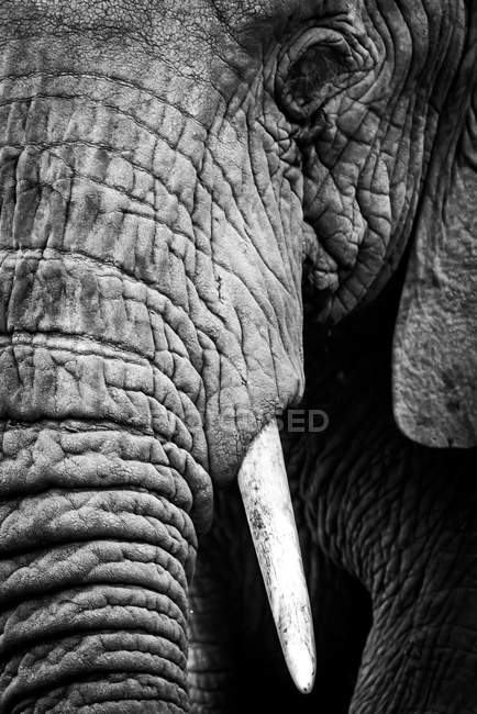 An African elephant (Loxodonta africana) stares at the camera, showing its wrinkled skin, long trunk and left eye and tusk, Ngorongoro Crater; Tanzania — Stock Photo
