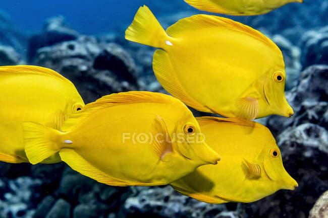 Yellow Tang (Zebrasoma flavescens) escolarización frente a la costa de Kona; Isla de Hawai, Hawai, Estados Unidos de América - foto de stock