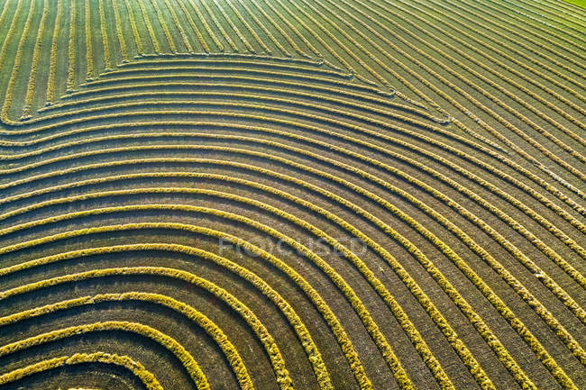 Aerial views of canola harvest lines glowing at sunset; Blackie, Alberta, Canada — Stock Photo