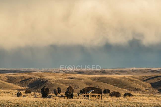 Зубров в национальном парке луга, Саскачеван, под грозовое небо; Вал Мари, Саскачеван, Канада — стоковое фото