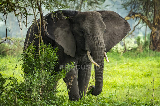 African elephant ( Loxodonta africana ) picks leafy branches in clearing, Ngorongoro Crater; Tanzania — Stock Photo