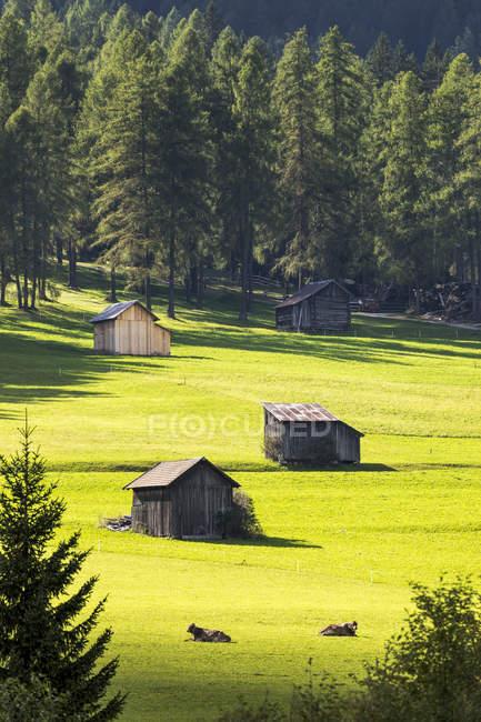 Fienili in legno in prati erbosi con sullo sfondo mucche e alberi; Sesto, Bolzano, Italia — Foto stock