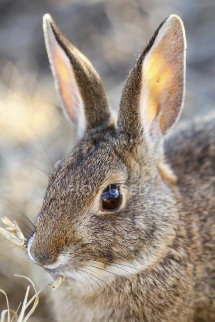 Крупным планом кролик ест траву, Сакраменто Национальный заповедник дикой природы; Калифорния, Соединенные Штаты Америки — стоковое фото