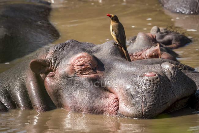 Закри Бегемот (Бегемот amphibius) з за рахунок виставляється червоний oxpecker (Buphagus erythrorhynchus) на його головою, Національний Парк Серенгеті; Танзанія — стокове фото