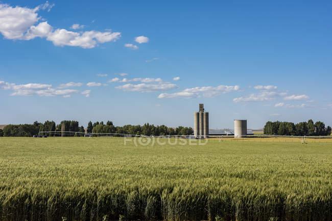 Ein bewässertes Gerstenfeld im Frühsommer mit Getreidesilos im Hintergrund, Eastern Washington; waitsburg, Washington, Vereinigte Staaten von Amerika — Stockfoto