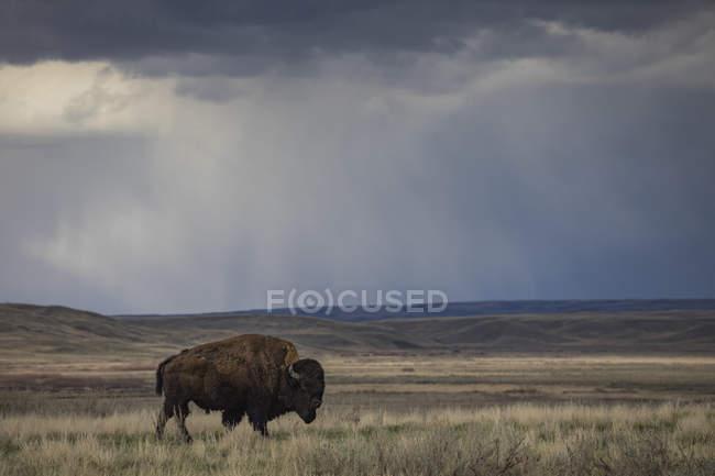 Бизон (bison bison) ходить в степи, луга национального парка; Саскачеван, Канада — стоковое фото