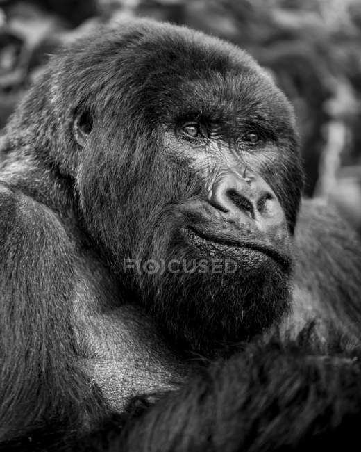 Ritratto ravvicinato in bianco e nero di un gorilla; Provincia del Nord, Ruanda — Foto stock