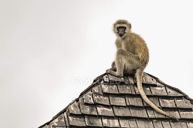 Le singe de Vervet (Chlorocebus pygerythrus) regarde vers le bas depuis le toit carrelé du parc national de Tarangire ; Tanzanie — Photo de stock