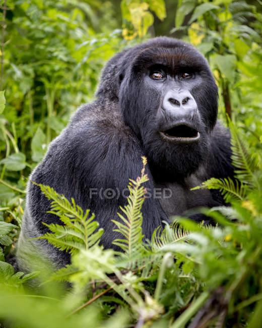 Un Gorilla della famiglia Giranzea Gorilla seduto nel rigoglioso fogliame con la bocca aperta; Provincia del Nord, Ruanda — Foto stock