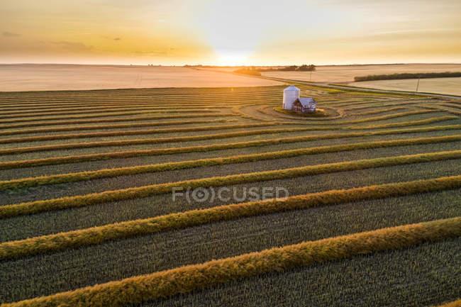 Вид с воздуха на линии сбора урожая канолы, светящиеся на закате; Блэки, Альберта, Канада — стоковое фото