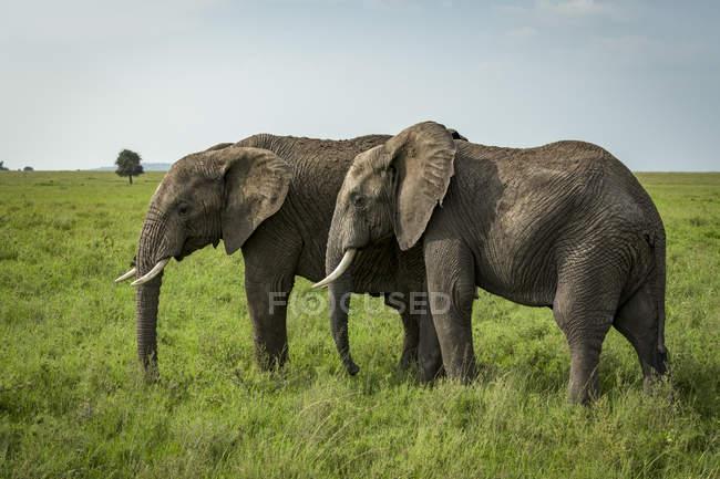 Two African elephants ( Loxodonta africana ) side-by-side in lush grassland, Serengeti National Park; Tanzania — Stock Photo