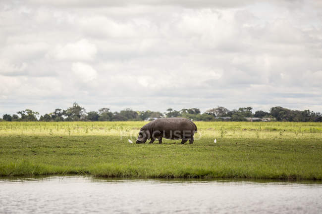 Um rinoceronte pastando na grama com pássaros ao lado do Rio Chobe, no Parque Nacional de Chobe; Botswana — Fotografia de Stock
