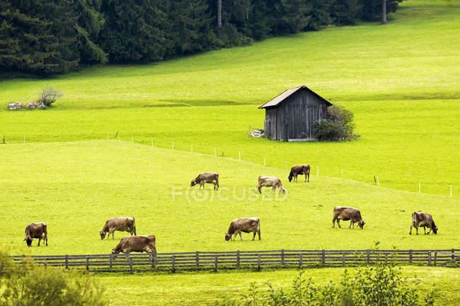 Bovini al pascolo in prato alpino con recinzione in legno e piccolo fienile; Sesto, Bolzano, Italia — Foto stock