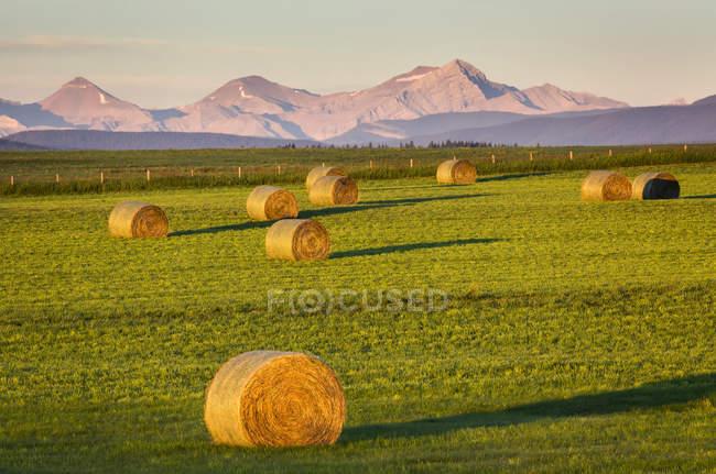 Ballots de houle dans un champ coupé au lever du soleil avec des contreforts et une chaîne de montagnes en arrière-plan et un ciel bleu, à l'ouest de Calgary ; Alberta, Canada — Photo de stock