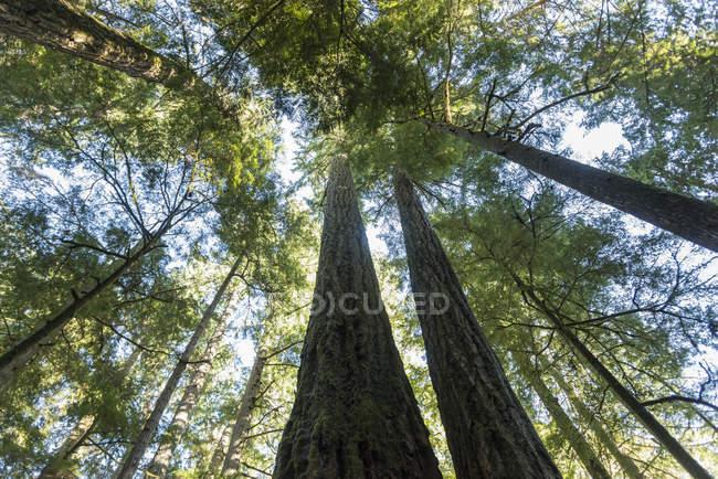 Guardando le cime degli alberi in una foresta di vecchio sviluppo nel Parco provinciale di Macmillan, Cathedral Grove, isola di Vancouver; Columbia britannica, Canada — Foto stock