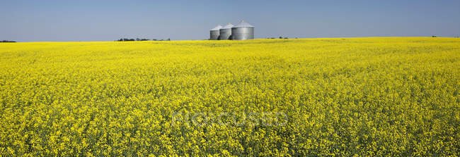 Large metal grain bins in a flowering canola field with blue sky; Beiseker, Alberta, Canada — Stock Photo