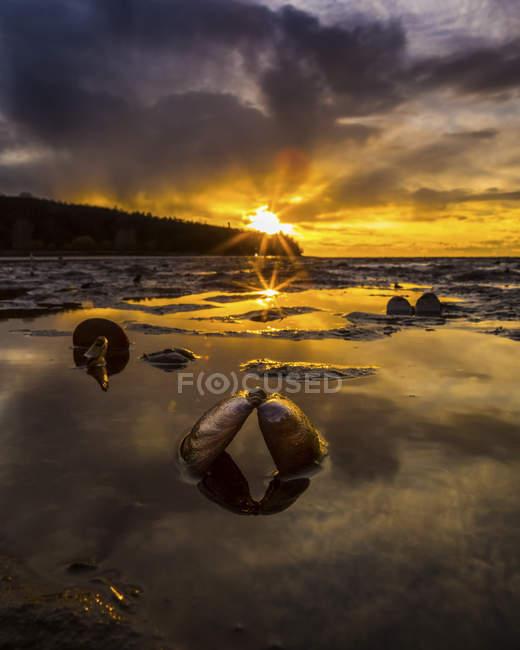 Luce dorata del sole illumina il cielo al tramonto e riflette in acque poco profonde lungo la costa con un guscio di vongola aperta in primo piano; Vancouver, Columbia britannica, Canada — Foto stock