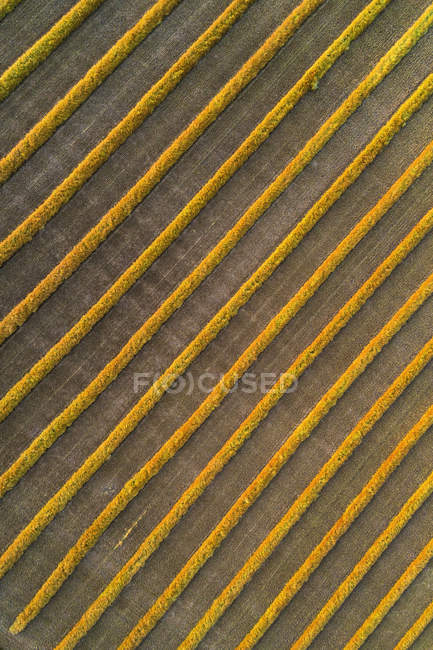 View from directly above of canola harvest lines glowing at sunset; Blackie, Alberta, Canada — Stock Photo
