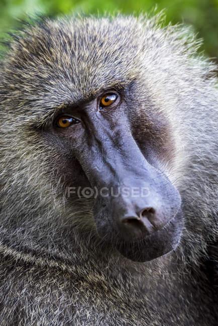 Primo piano del babbuino olivastro maschio (Papio anubis) che guarda la telecamera; Tanzania — Foto stock