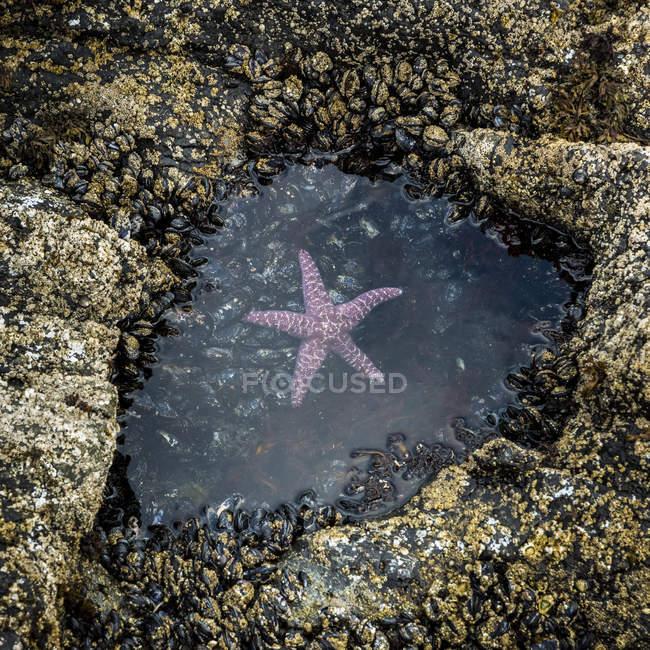 Une étoile de mer rose (Asteroidea) flotte dans une petite marée sur Long Beach, baie de Florencia, île de Vancouver ; Colombie-Britannique, Canada — Photo de stock