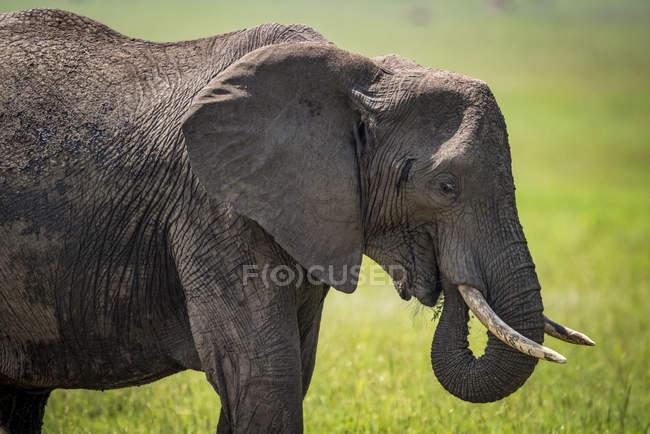 Elefante africano (Loxodonta africana) con tronco arricciato in bocca, Parco Nazionale del Serengeti; Tanzania — Foto stock