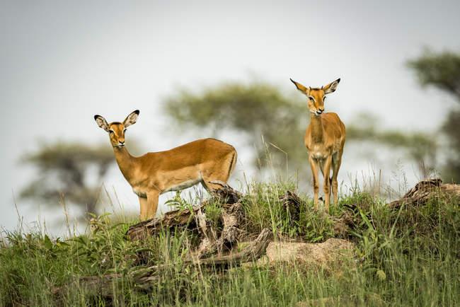 Dois impala feminino (Aepyceros melampus) olhando do cume, Parque Nacional de Serengeti; Tanzânia — Fotografia de Stock