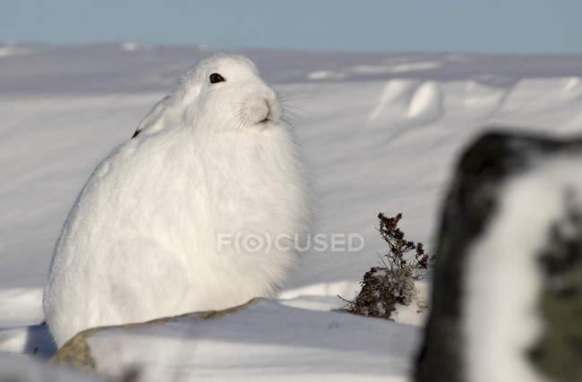 Арктический заяц (Lepus arcticus) в снегу; Черчилл, Манитоба, Канада — стоковое фото
