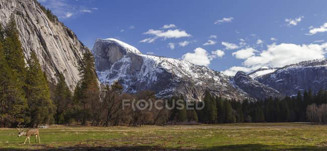 Veado (Odocoileus hemionus) no vale de Yosemite, o Parque Nacional de Yosemite; Califórnia, Estados Unidos da América — Fotografia de Stock