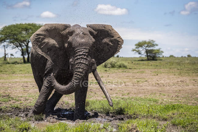 Elephant with large tusks; Ndutu, Tanzania — Stock Photo