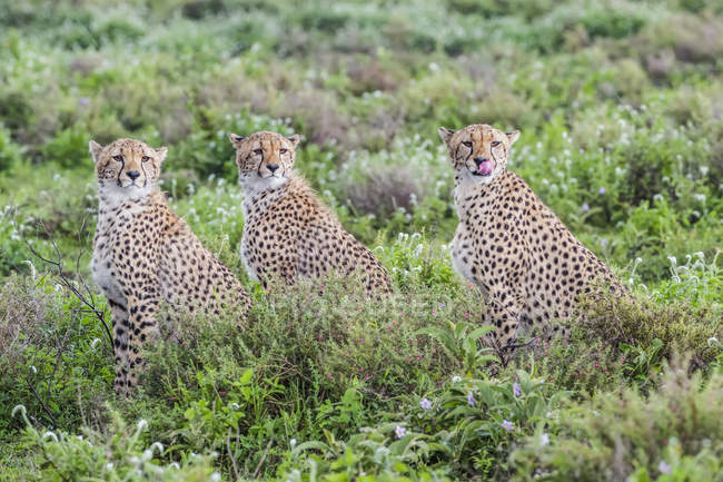 Three cheetahs ( Acinonyx jubatus ) sitting in a row; Ndutu, Tanzania — Stock Photo