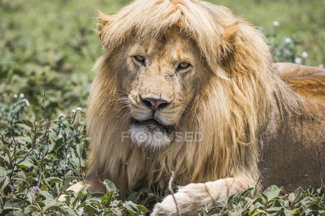 Male lion ( panthera Leo ) with great hair; Ndutu, Tanzania — Stock Photo