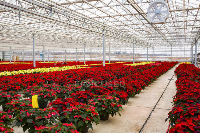 Rows of multi-coloured poinsettias that were grown in a greenhouse operation nearing the Christmas season; St. Albert, Alberta, Canada — Stock Photo