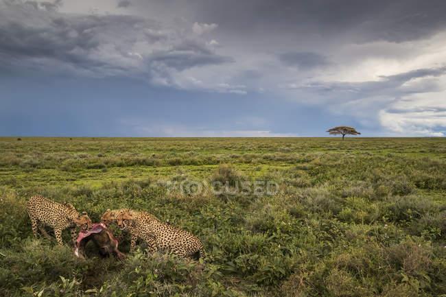 Гепардов (Acinonyx jubatus) есть wildbeest; Ndutu, Танзания — стоковое фото