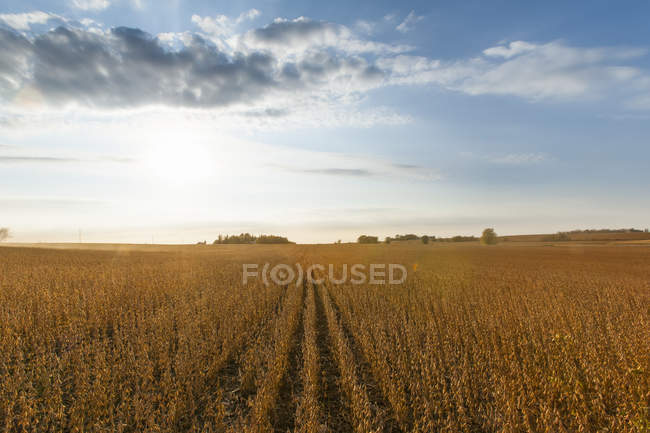 Soybean field ready for harvest, near Nerstrand; Minnesota, United States of America — Stock Photo