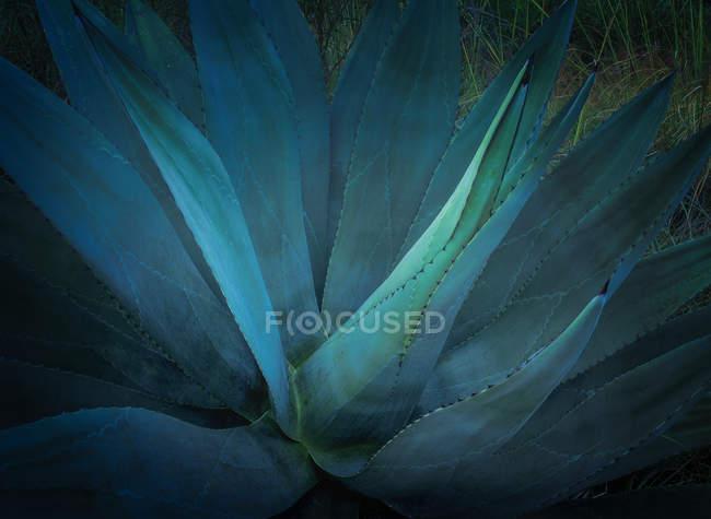 Синяя агава; Мексика — стоковое фото