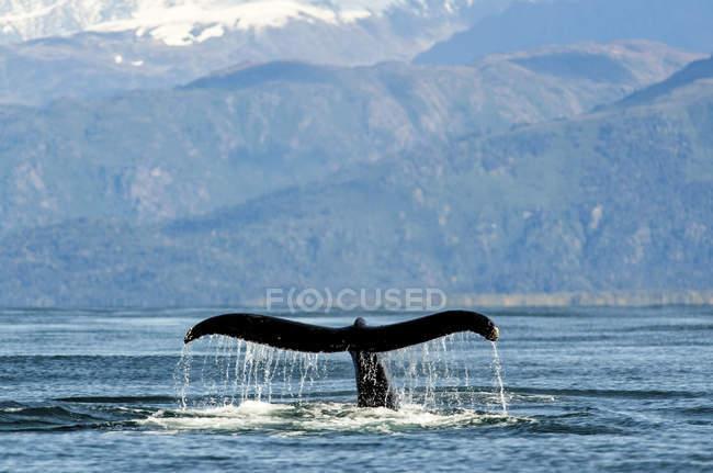 Fluke Buckelwal (Impressionen Novaeangliae) entlang der Küste der Kachemak Bay; Homer, Alaska, Vereinigte Staaten von Amerika — Stockfoto