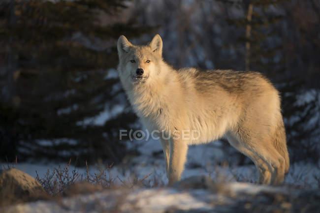 Северо-волк (Canis lupus Западная) в солнце; Черчилл, Манитоба, Канада — стоковое фото