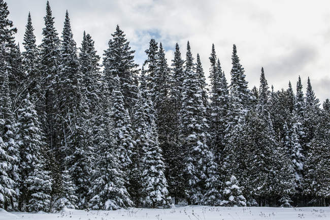 Snow-covered coniferous trees; Foster, Quebec, Canada — Stock Photo