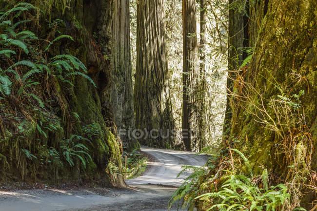 Redwood-Bäume und Trail, Jedediah Smith Redwoods State Park; Crescent City, Kalifornien, Vereinigte Staaten von Amerika — Stockfoto