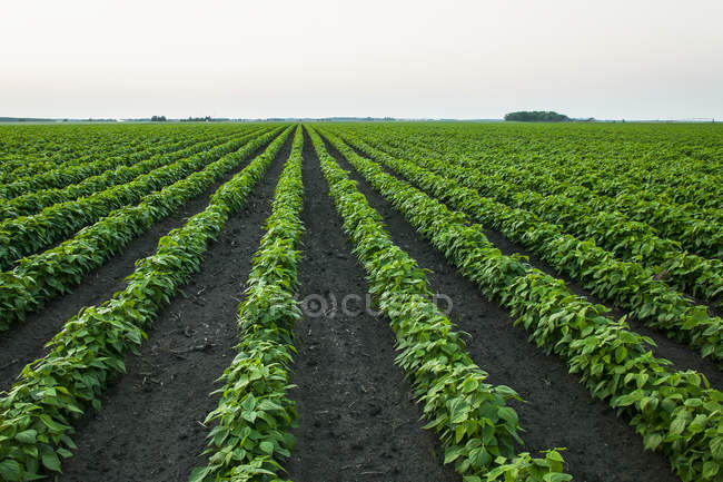 Growing soybean crop in a field; Minnesota, United States of America — Stock Photo