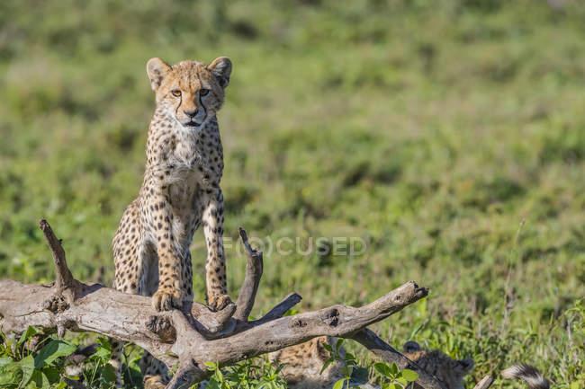 Cheetah ( Acinonyx jubatus ) standing on a dead tree; Ndutu, Tanzania — Stock Photo