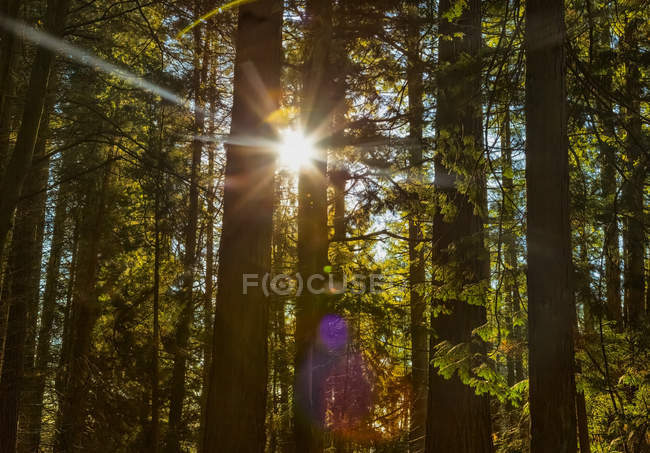 Sunlight shining brightly through the trees in a forest at Red Willow Park: Surrey; British Columbia, Canada — Stock Photo