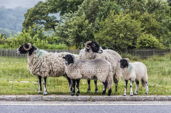 Quatre moutons à la recherche de trafic sur le bord de la route avant de traverser; L'Angleterre — Photo de stock