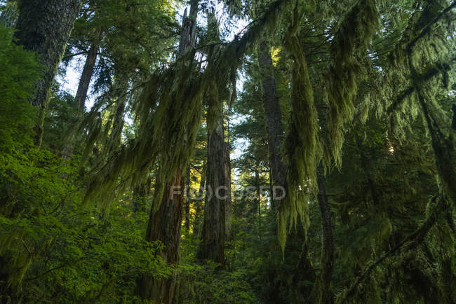 Lush foliage on the trees with moss hanging from the branches, Great Bear Rainforest, Hartley Bay, British Columbia, Canada — Stock Photo